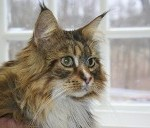 Hi, my name is Satchel Morley (the most handsome Maine Coon)! I have come all the way from Bedford, New Hampshire to share my loving, handsome and docile self, with my new friends at GVAH. I always arrive in style, thanks to my mom who always provides me with the best wheels in town!! I agree with my mom…  Satchel and Mrs. Mary Morley
