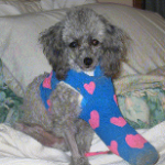 Putt Putt Pearman had a severely fractured leg and was repaired through an extensive surgery completed by Dr. Page. He is now functioning like a happy normal dog!!  Ron and Donna Pearman